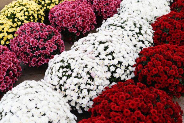 kwiaty dabki